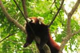a rare red panda at the zoo poster