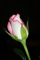 rose-coloured rose