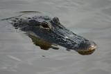 alligator in everglades poster