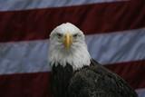 eagle,bird,animal,flag,attitude,homosassa springs, poster