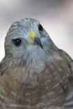 hawk,bird,animal,attitude,wings,homosassa springs, poster