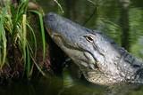 alligator at rest poster