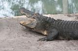 alligator,gator,gators,reptile,animal,nature,st au poster