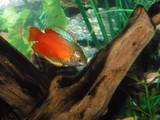 aquarium gourami poster