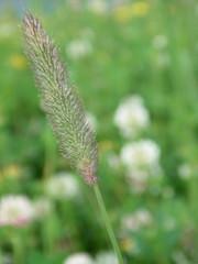grasses ear