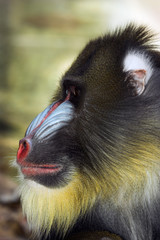 profile of mandrill's face