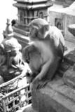 hindu rhesus monkey - nepal poster
