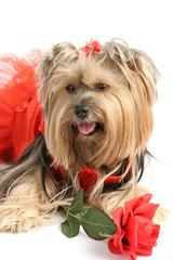 yorkie princess with rose