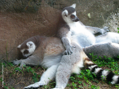 ringtailed lemurs relaxing