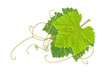 grape leaves 02