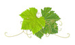 grape leaves 03