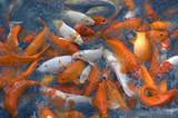 feeding gold fish poster