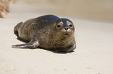 harbor seal pup 1 poster
