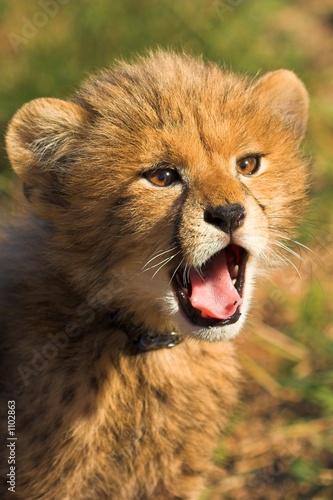 Fotobehang cheetah cub