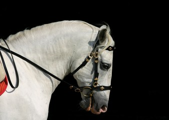 andalusian horse at work