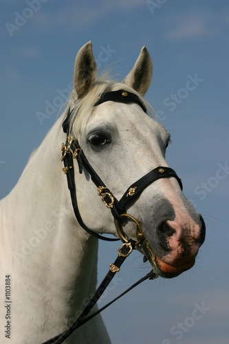 noble horse portrait
