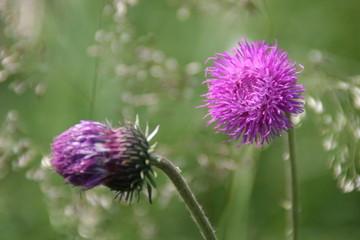 lila disteln inmitten von gräsern