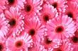 roleta: bright pink gerbera daisies