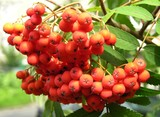 red rowan berries on the tree poster