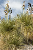 soap tree yucca poster