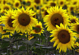 Fototapeta field of sunflowers