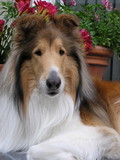 collie dog poster