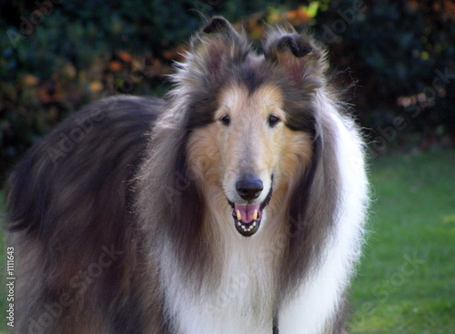 poster of collie dog portrait