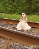 american cocker spaniel on railway tracks poster