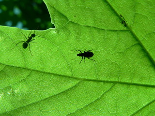 leaf and ant