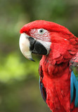 green-winged macaw poster