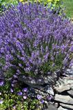 Fototapety lavender rock garden