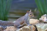 pondside squirrel poster