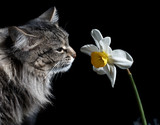 cat and narcissus poster