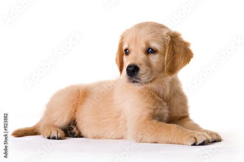 Fototapeten Hunde puppy