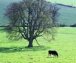 cow england