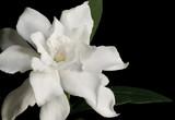 gardenia - Fine Art prints