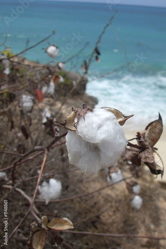 caribbean cotton