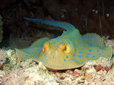 Fotoroleta bluespotted stingray
