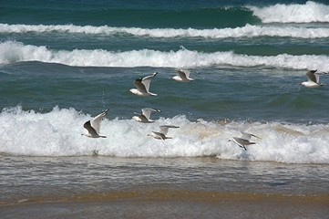 seagulls in motion 5.