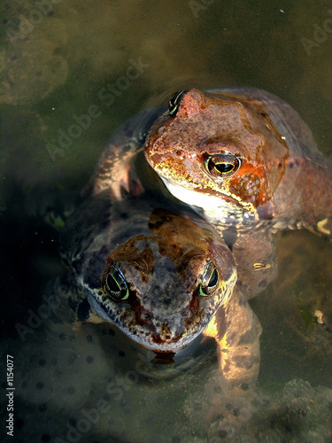 two spring frogs