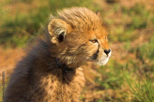Fotobehang staring cub
