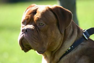 dog, french mastiff