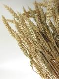 corn of wheal
