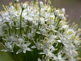 white flowerses, macro