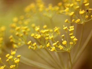 yellow flowerses, macro