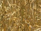 harvest field poster