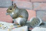 backyard squirrel poster
