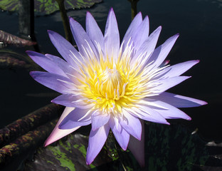 purple & yellow water lily