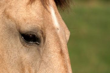 palomino eye