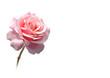 Fototapete Rosa - Freigestellt - Pflanze